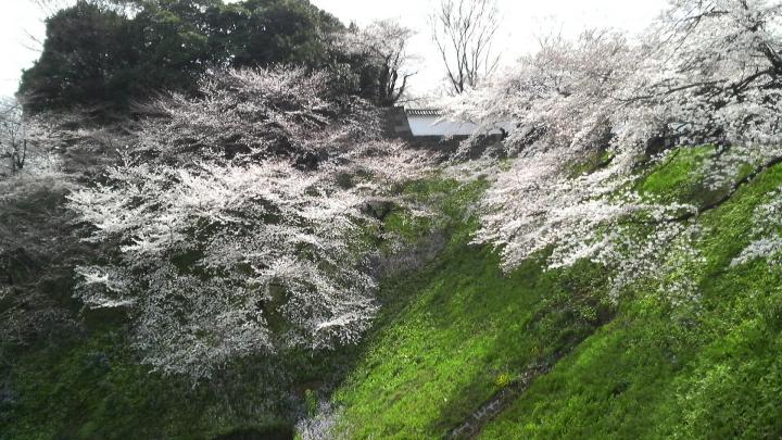 北の丸公園の桜1