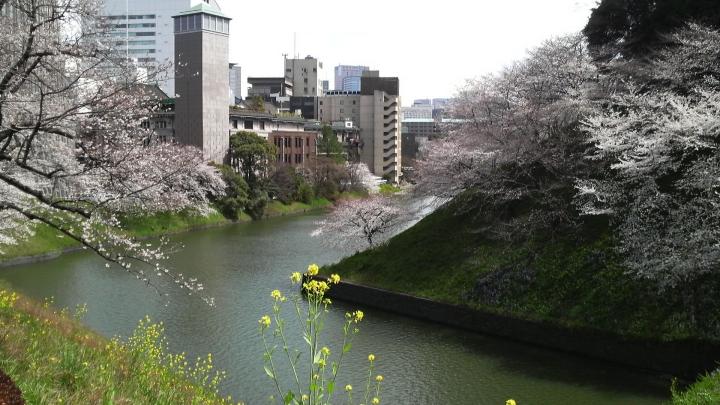 北の丸公園の桜2